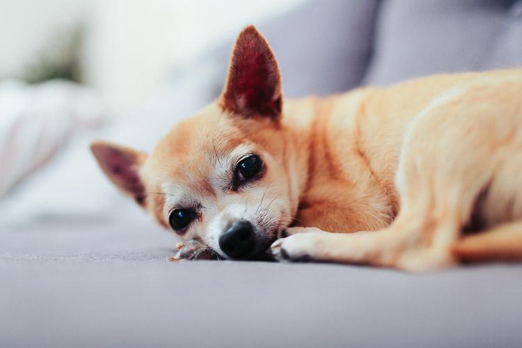 W domu pies rasy chihuahua jest spokojny, dużo śpi