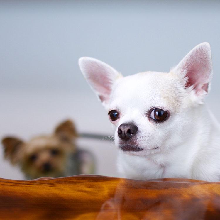Chihuahua preferują towarzystwo własnej rasy lub innych podobnych piesków
