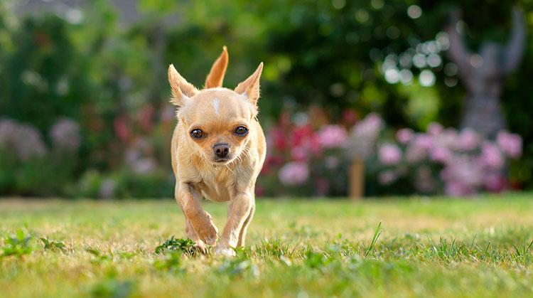 Chihuahua to pies radosny, aktywny i mikroskopijny. Jego waga idealna: 1,5-3 kg