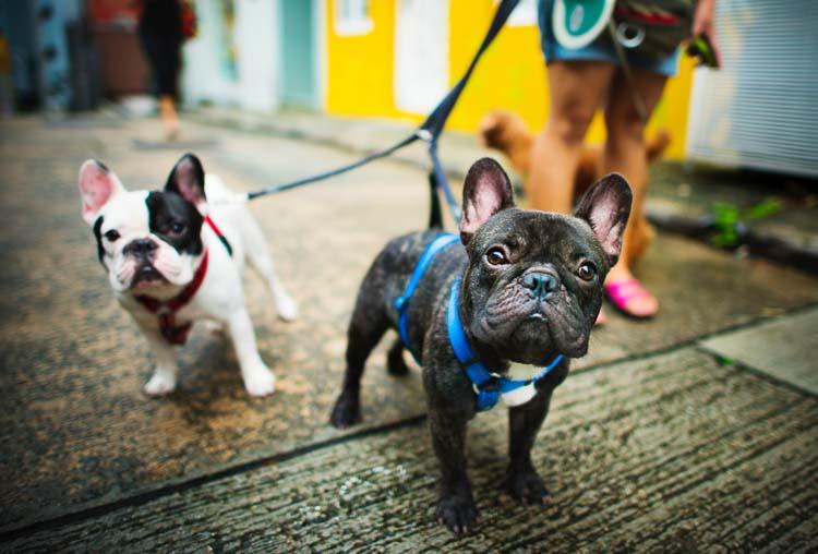 Hodowla psów rasowych powinna być zarejestrowana w Związku Kynologicznym w Polsce