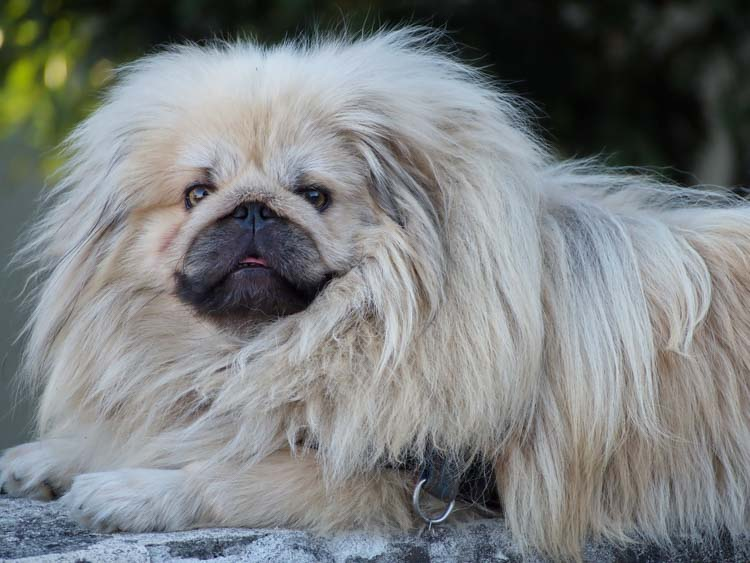 Pekińczyk pochodzi z Chin. Ta miniaturowa rasa psów znana była jako pies-lew, gdyż miał uosabiać lwa będącego legendarnym pomocnikiem Buddy.